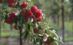 Apples at Brogdale Collections near Faversham.
